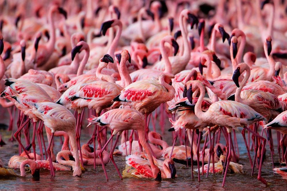 Картинки по запросу розовые фламинго